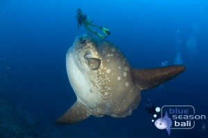..., Ocean Sunfish, Mola Mola, Crystal Bay, Nusa Penida, Bali Island, Indonesia, Pacific Ocean