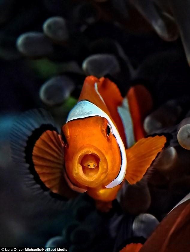 clown fish fact