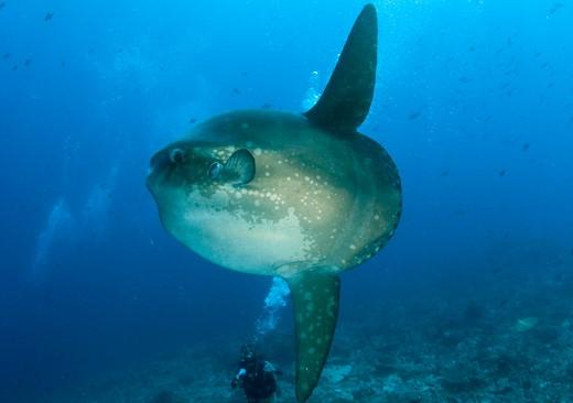 sunfish diving bali