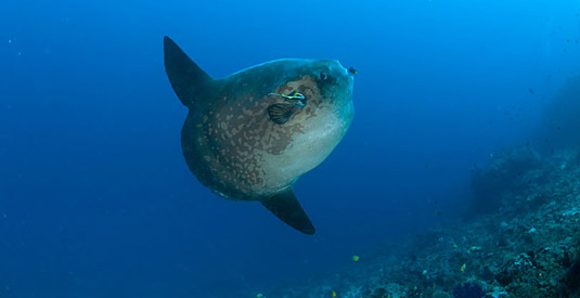 Bali Poisson Lune Mola Mola
