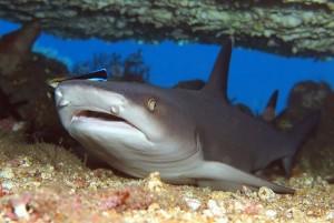 ネムリブカ Whitetip Reef Shark (2)