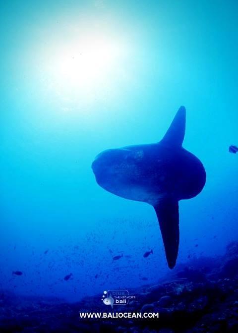 sunfish diving