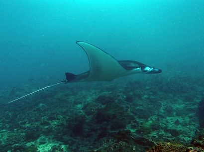 Blue Season Bali's new team member is a Manta Ray!