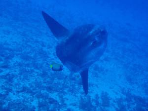 Mola Mola in Bali