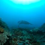 manta-at-reef