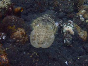 GH4_Tocca_Cuttlefish