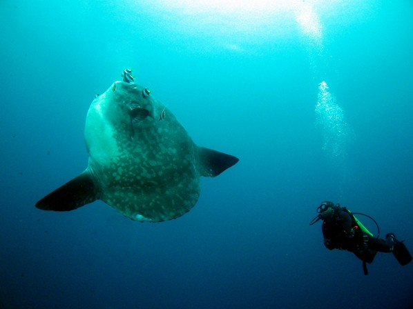 Mola Mola while doing the Deep Diver
