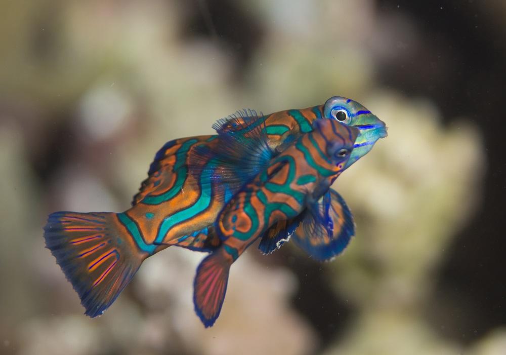 Mandarin fish in Bali