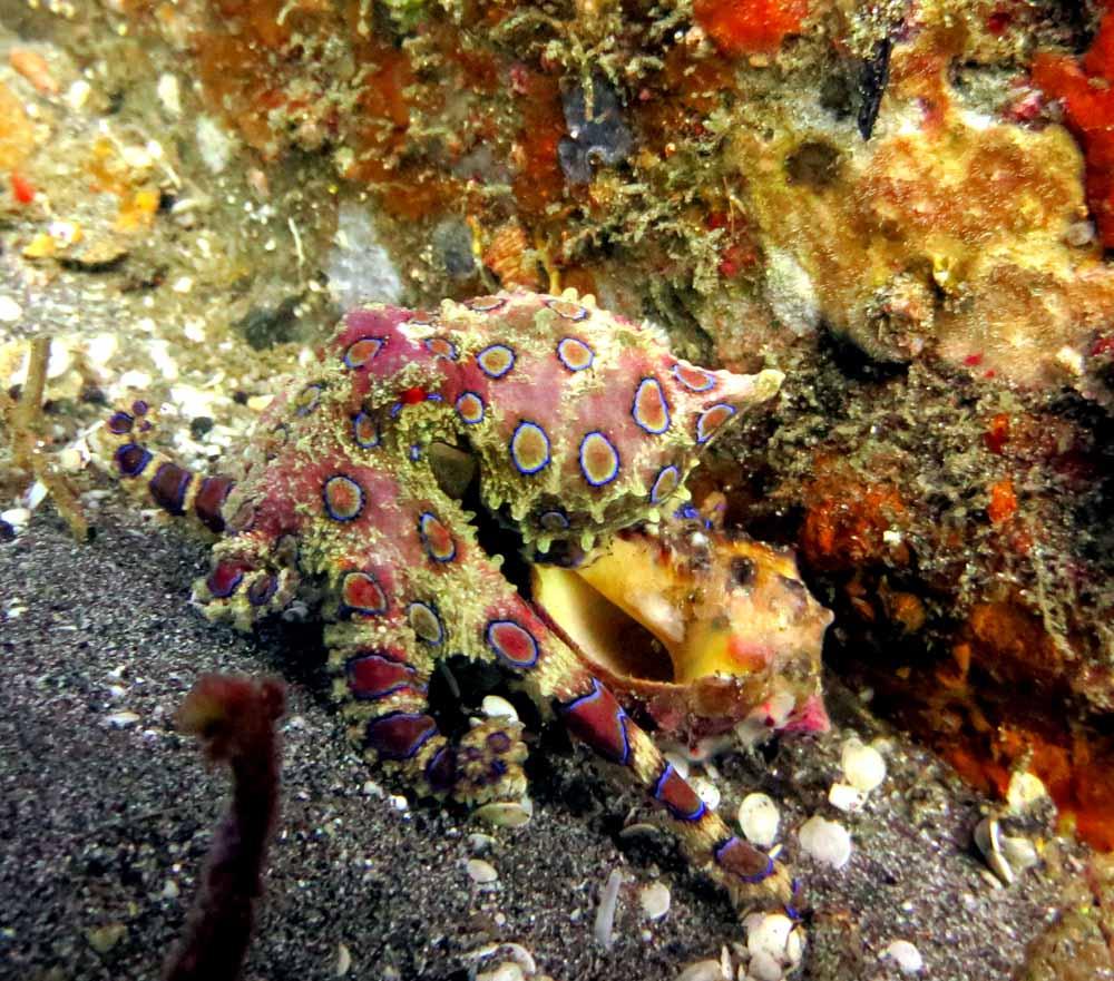 Blue Ring Octopus Padang Bai Bali