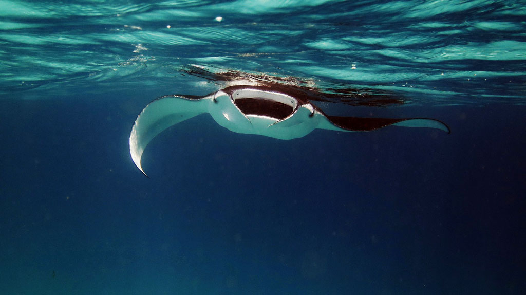 manta rays cleaning station