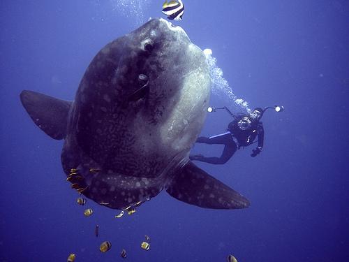 diver with mola mola