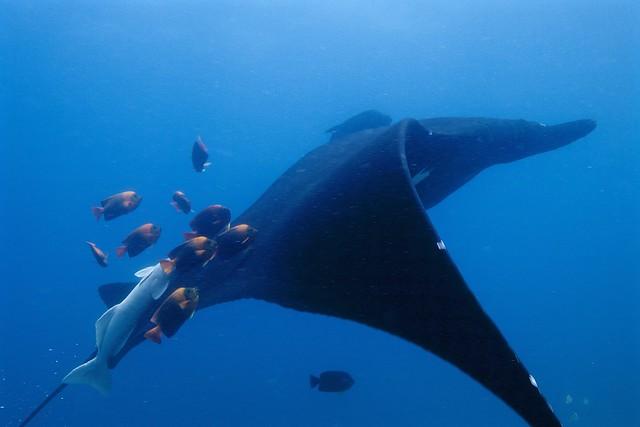 giant manta rays in bali
