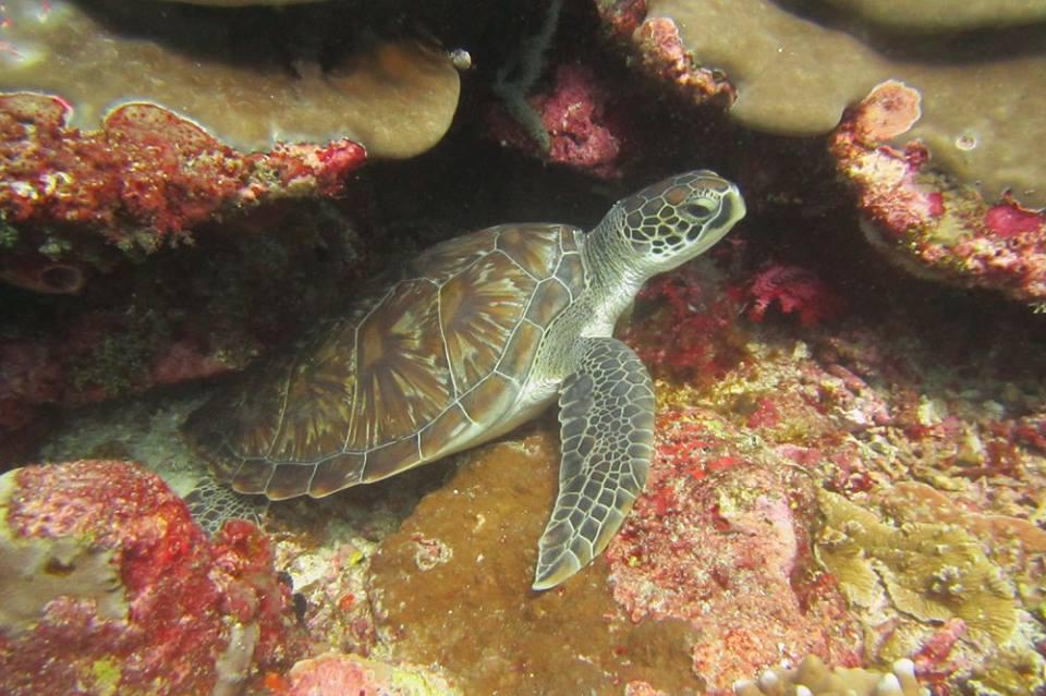 Turtle in Tulamben