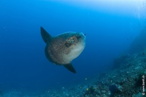 Ocean Sunfish, Mola Mola, Crystal Bay, Nusa Penida, Bali Island, Indonesia, Pacific Ocean