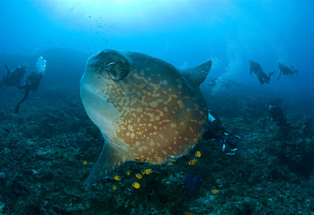 Mola Mola Bali - B