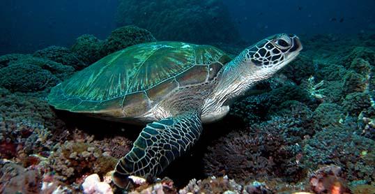 Padang Bai Bali - Turtle