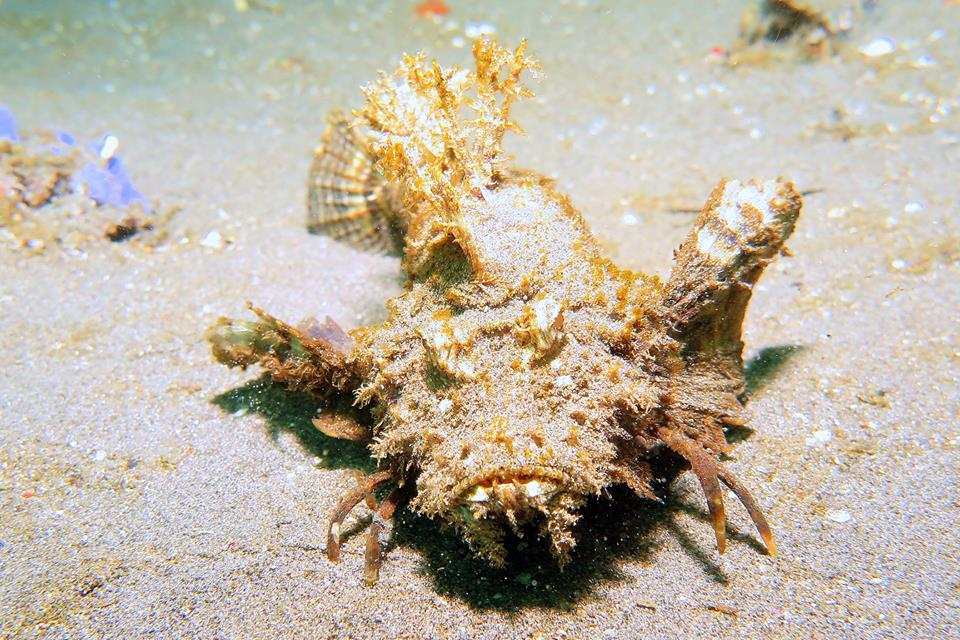frogfish bali