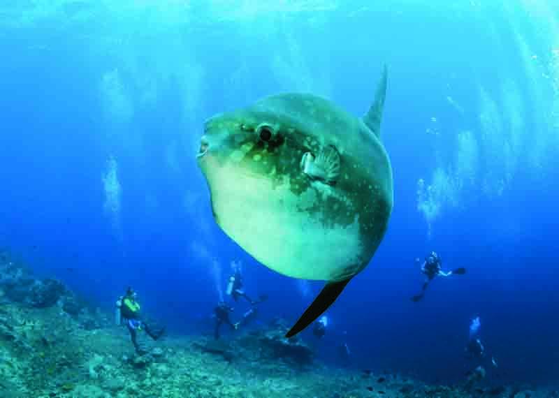 Mola Mola Bali