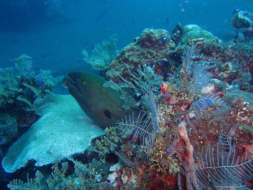 Bali Diving - Moray Eel