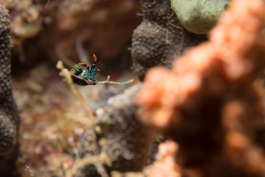 Nudibranch Menjangan Island