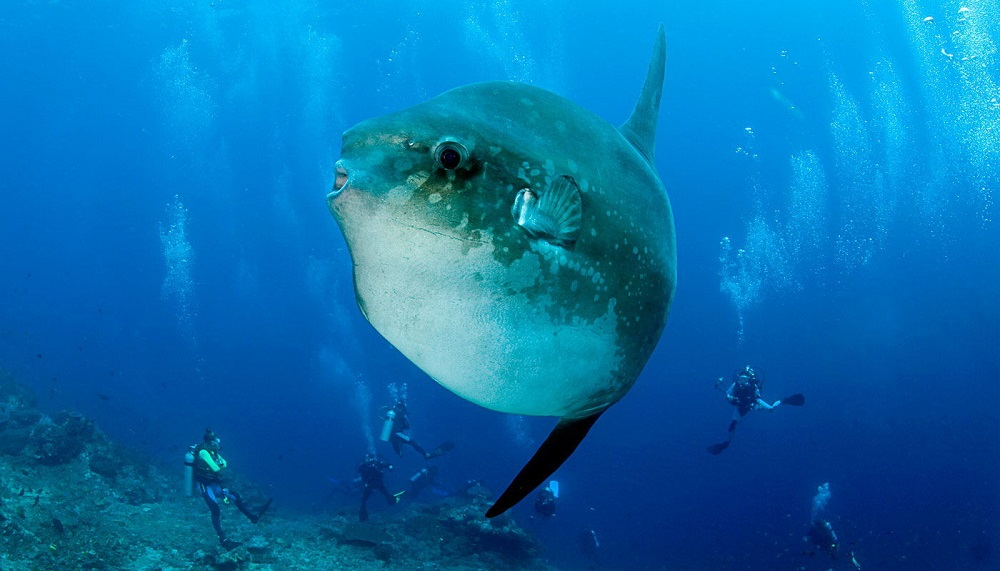 Mola Mola during Advanced Open Water Diver in Bali