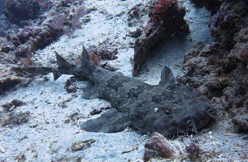 Wobbegong Shark Bali