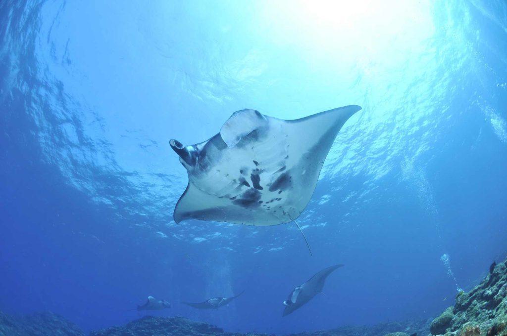 diving manta rays