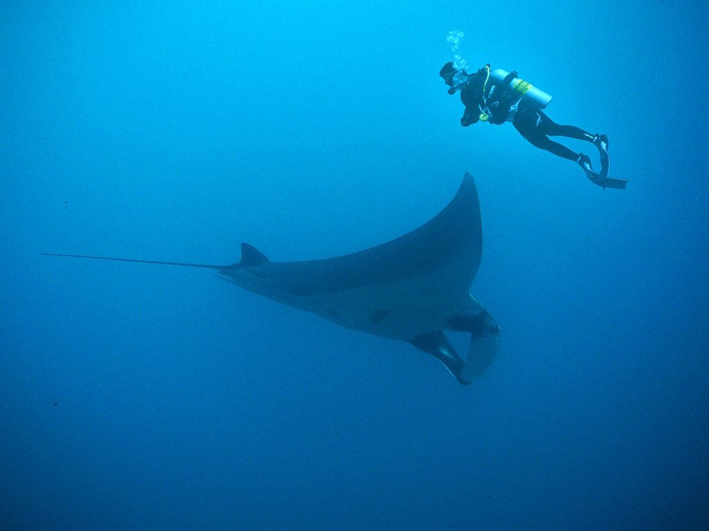 manta rays facts