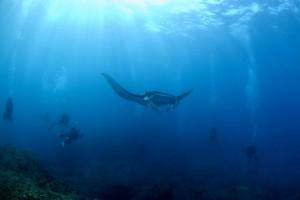 manta and divers