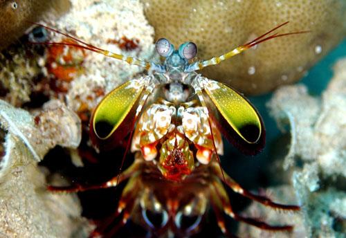 mantis shrimp bali