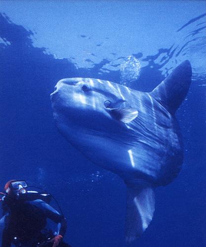 Mola Mola in Nusa Penida