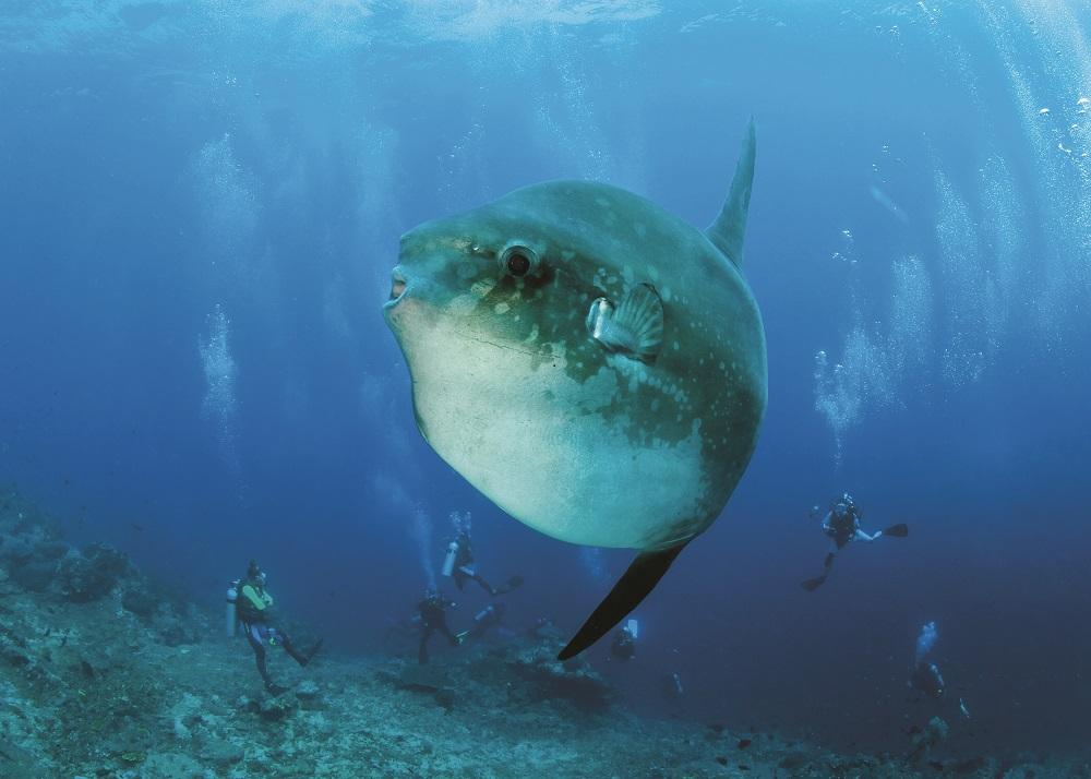 Mola Mola: Ocean Sunfish