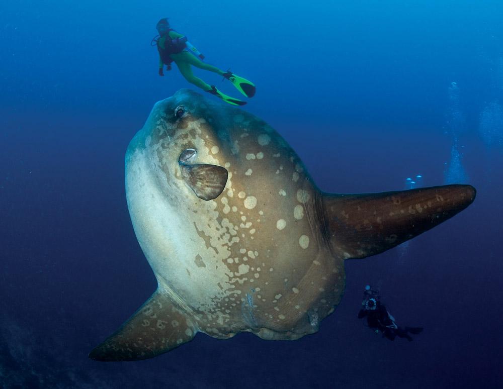 ocean sunfish mola mola