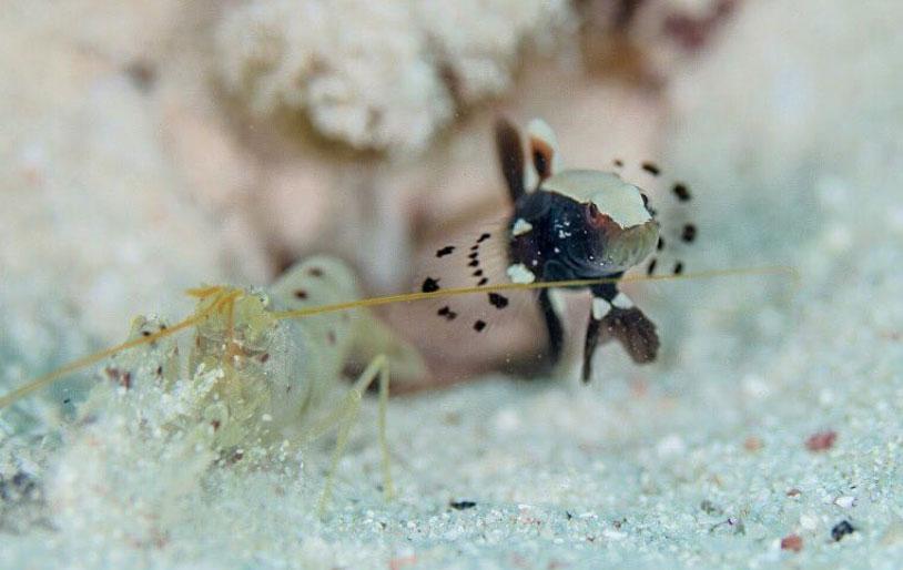 pistol-shrimp