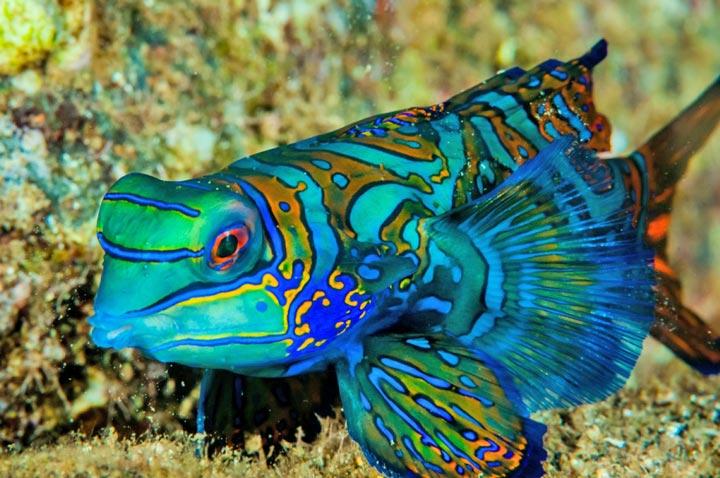 mandarin dragonet fish