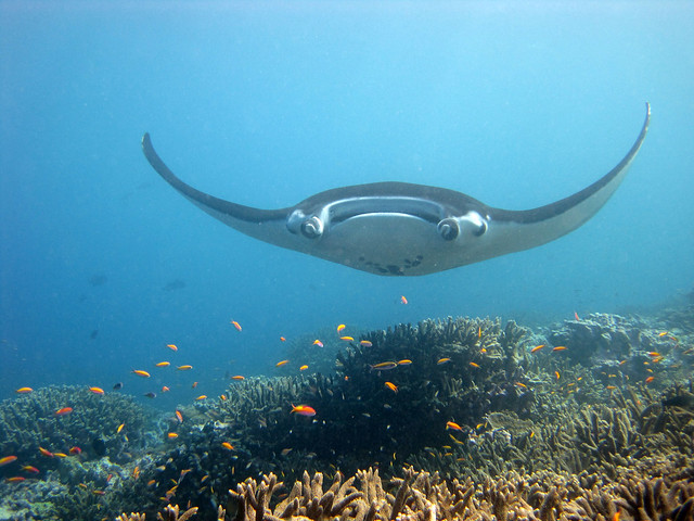 reef manta rays in bali
