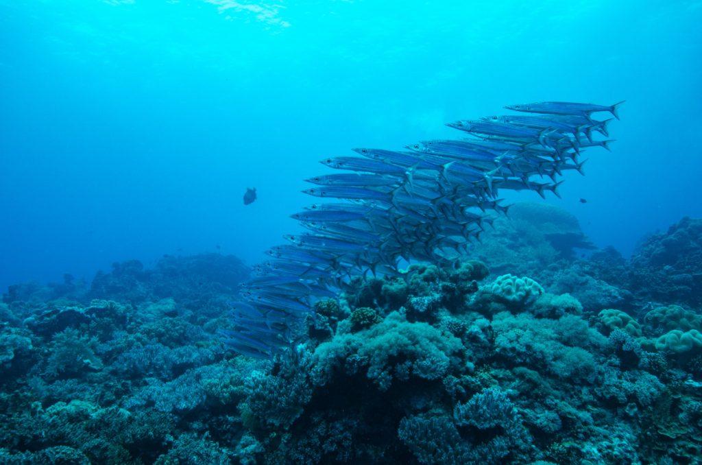 barracuda fish bali