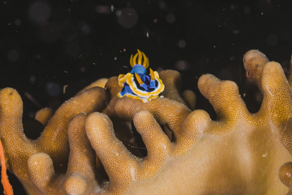Nudibranch marine life bali